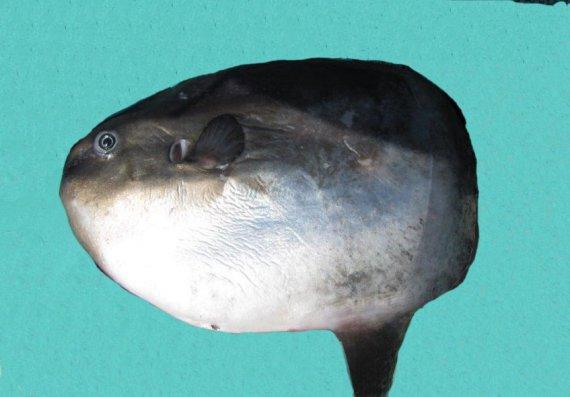 Ocean Sunfish (1)