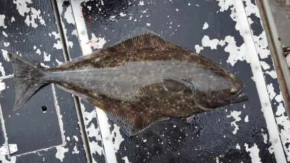 Pacific Halibut, Hippoglossus stenolepis: Fish caught in Sitka, Alaska, September 2015. Photo and identification courtesy of Chris Wheaton.