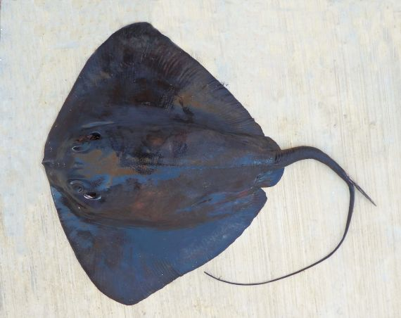 Pelagic Stingray (1)