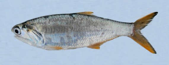 Bigscale Anchovy (1)