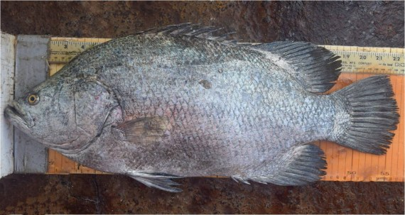 f672-pacific-tripletail-2