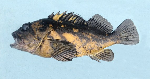 f680-black-and-yellow-rockfish-1