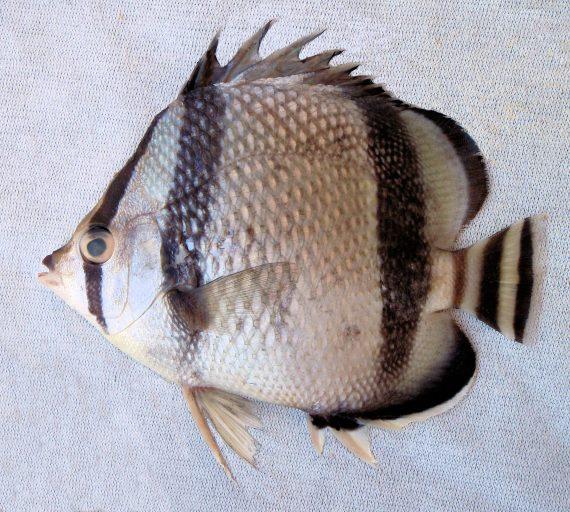 Threebanded Butterflyfish (2)