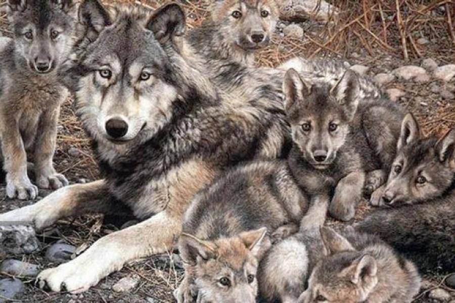 Rehabilitación Del Lobo Gris En Proceso: La Recuperación De La Población De Lobo Gris Mexicano