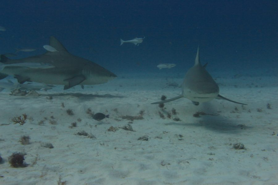 Buceo tiburon toro