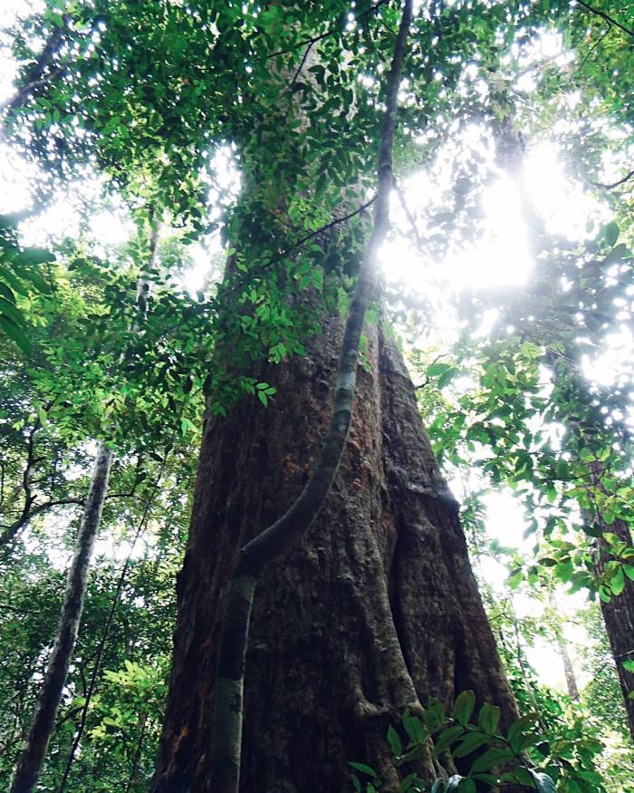 Borneo Ancient Endangered Rainforest