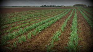 Champs de tulipes contre le cancer en Sud-Vendée