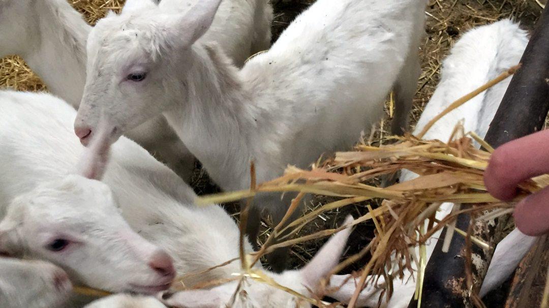 Chèvres visite GAEC Les Caprins Novembre 2017 4è (9)