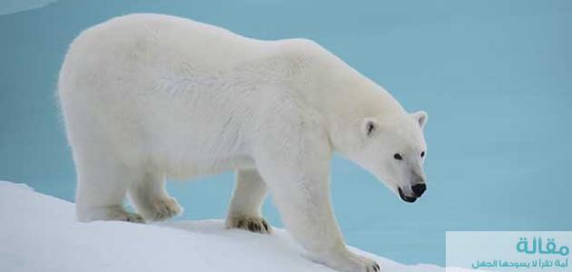 نبذة عن الدب الأبيض