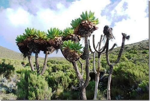 Kilimanjaro Plant Life (39)