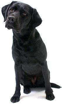 LabradorBlack