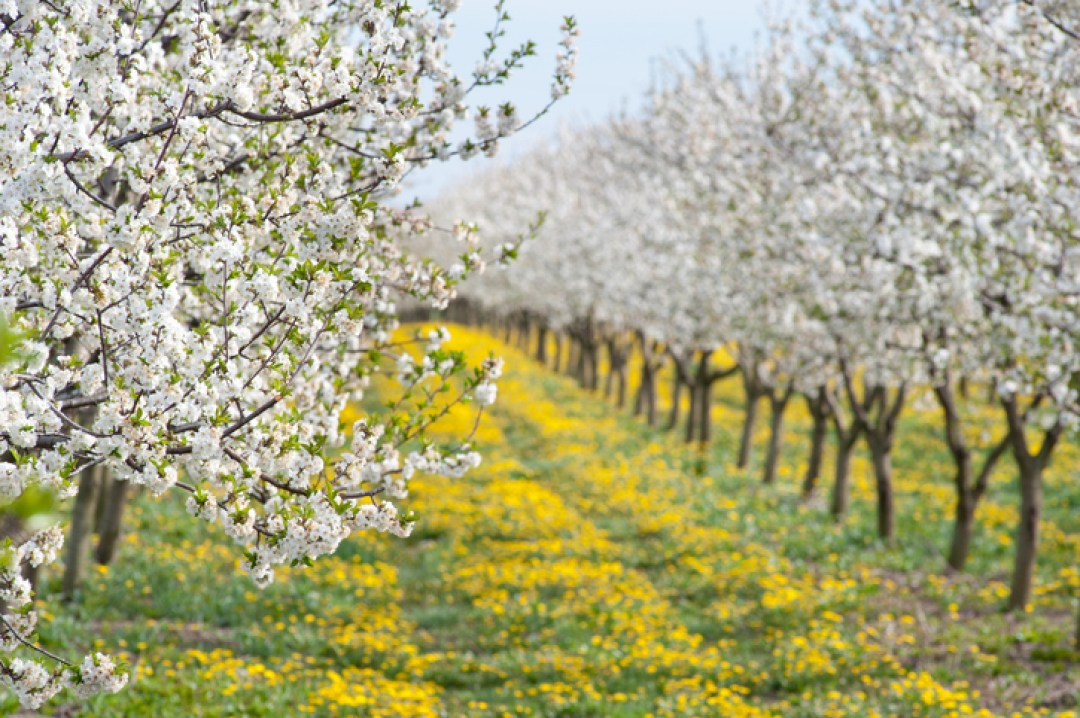 Blossoming apple orchard in springtime in Minnesota