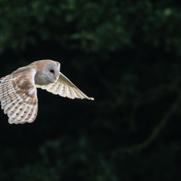 Early Morning Barn Owl