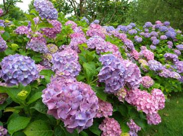 自然毒のリスクプロファイル:高等植物:アジサイ 厚生労働省