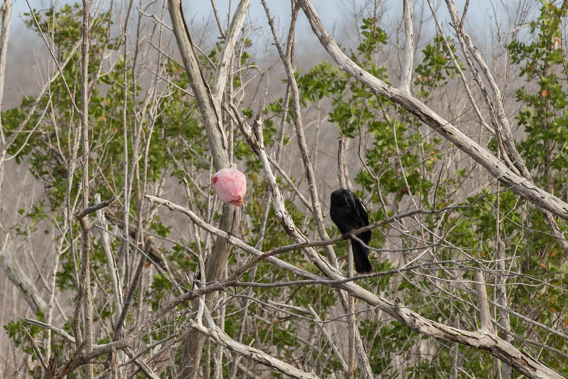 Everglades-Roze-Lepelaar-800px-20200218-5N6A5170