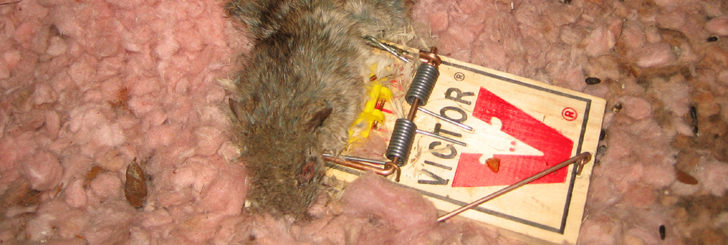 Diseases rats carry