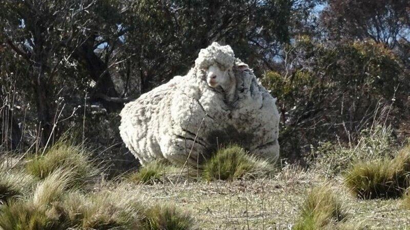 Австралийские фермеры изловили и подстригли овечку-бунтаря, которая скиталась 5 лет