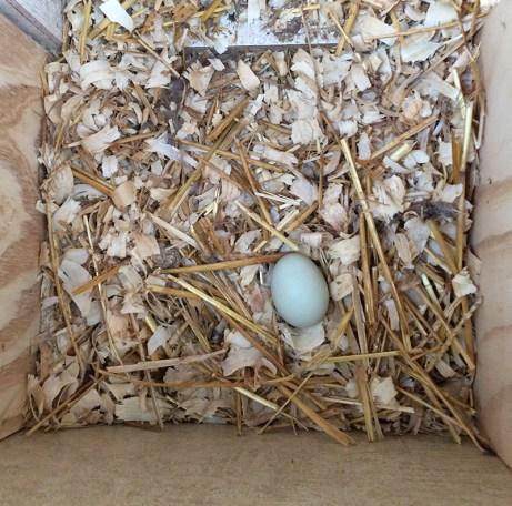 first egg 6 dec 2016-2-web