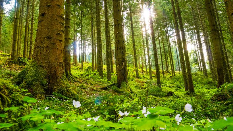 Frhlingswald  Bilder vom Schwarzwald und Oberrhein