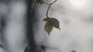 Ny udsprunget elmeblad i modlys håndholdt kamerabevægelse