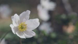 Anemone svajer i vinden med smuk sløret baggrund