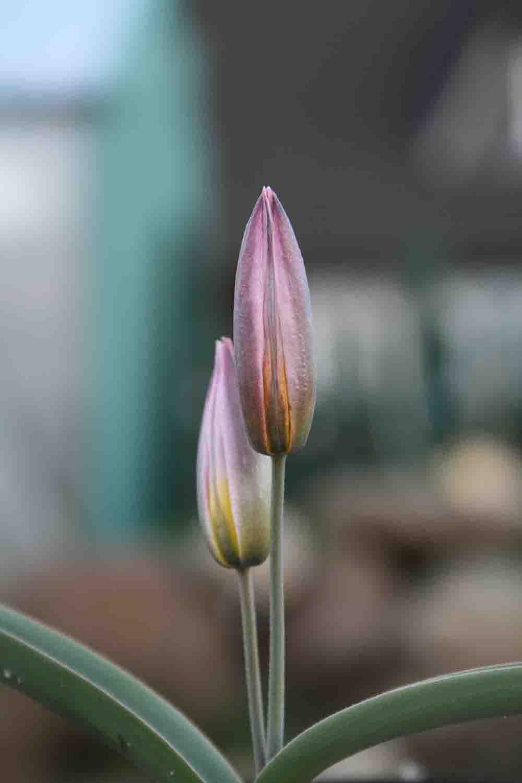 Tulipa Vorwort  Michael Camphausen