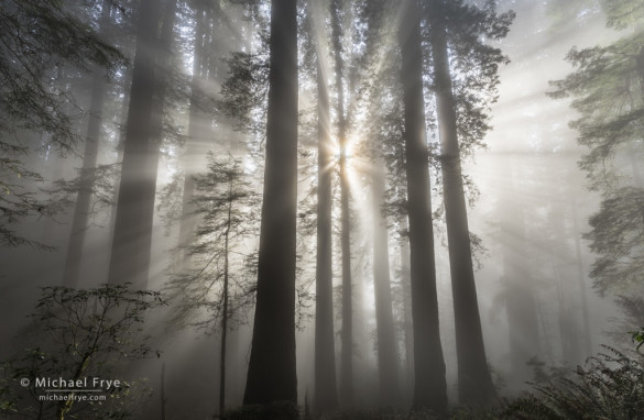 Sunbeams in a redwood forest, northern California coast, USA