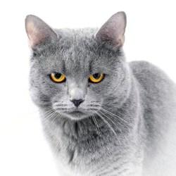 British blue cat on white background