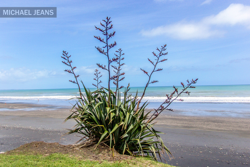Flax Tasman Sea @ Wai-iti northern Taranaki