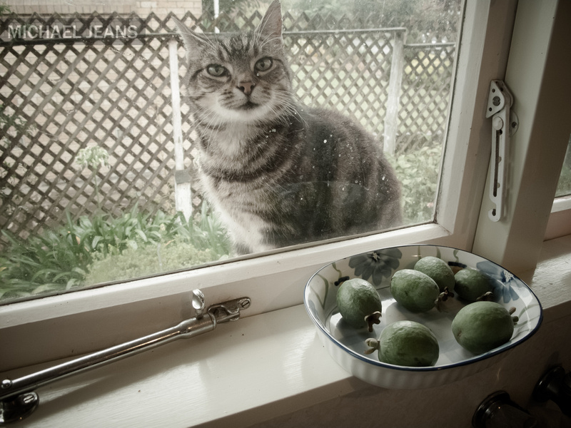 Coco and feijoas on the kitchen window sill