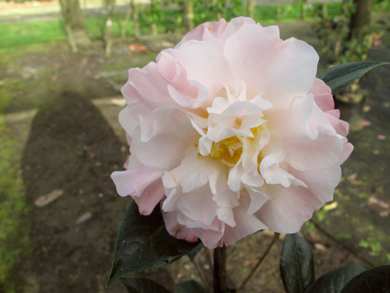 Jury's Pearl (C. pitardii x Tomorrow) Mark Jury hybrid. Large peony flowers in almost luminous pearly white with pale pink undertones. Stamens stay yellow. Prefers some shelter from full sun. Compact upright growth. Mid season flowering.