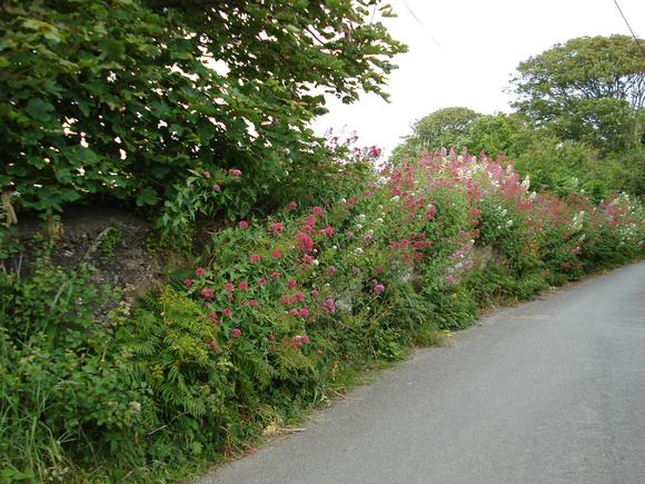 Road verges along a Cornwall lane