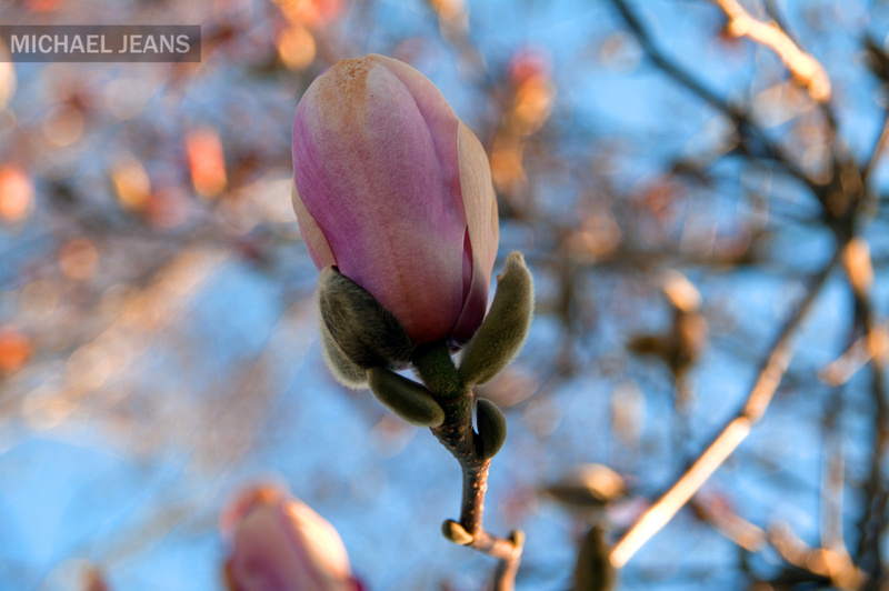 Magnolia bloom