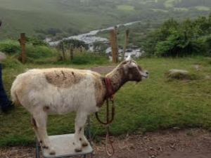 Goat on a chair
