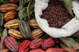 Raw Cacao Fruit Beans