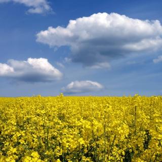 GMO Rapeseed Field