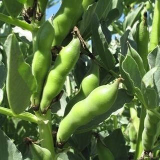 Fava Bean Plant