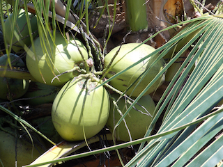 Green coconuts on a coconut palm tree.