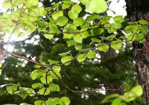 Bush of Hawthorne