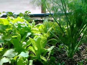 Greenhouse Aquaponics