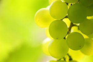 Vine of Grapes