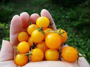 Yellow Baby Tomatoes
