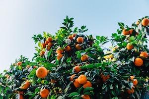 Crop of Citrus