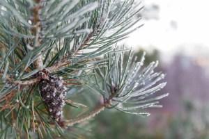Pine Cone Branch Pine Winter  - sergei_spas / Pixabay