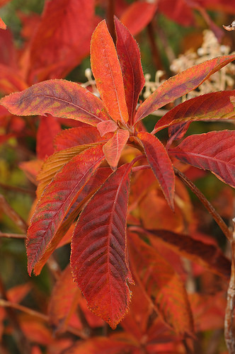 Clethra barb fall color