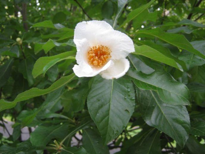 Franklinia flower