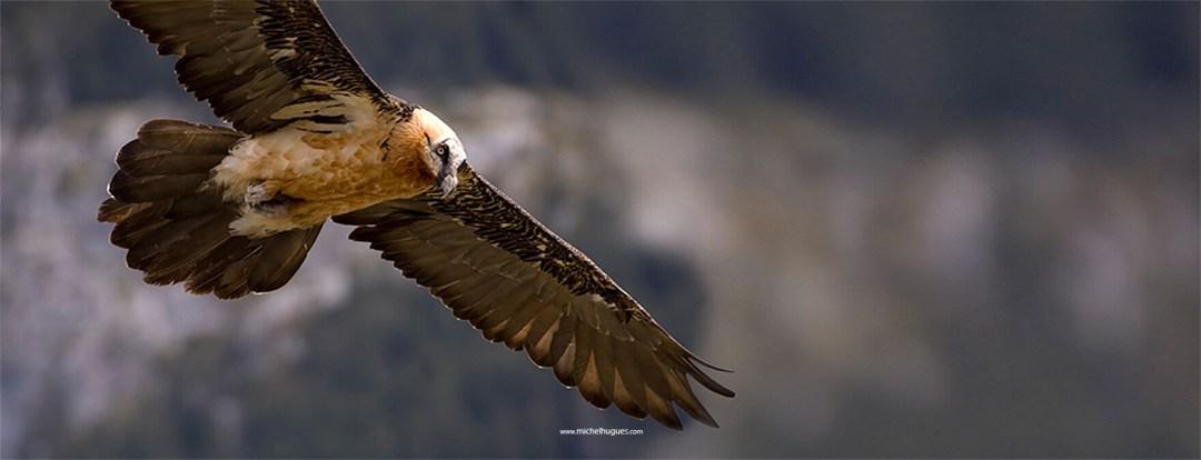 FAUNE & BIODIVERSITE : Participez le weekend prochain au comptage international des Gypaètes Barbus, notamment dans les Alpes du Sud - www.michelhugues.com