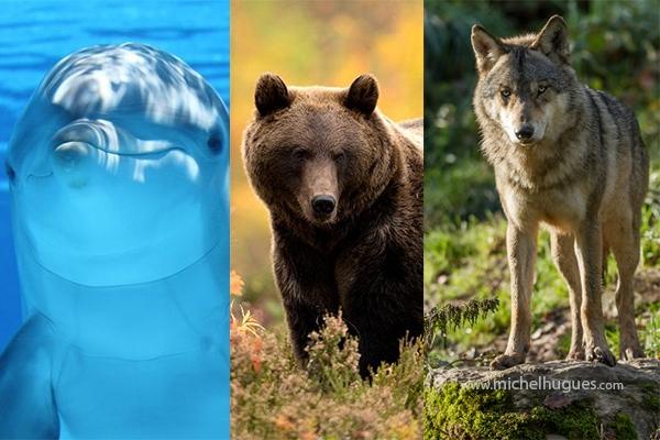 BIODIVERSITE : la commission européenne uniformise la protection des espèces animales dans l'union, notamment Loups, Ours et Dauphins - www.michelhugues.com