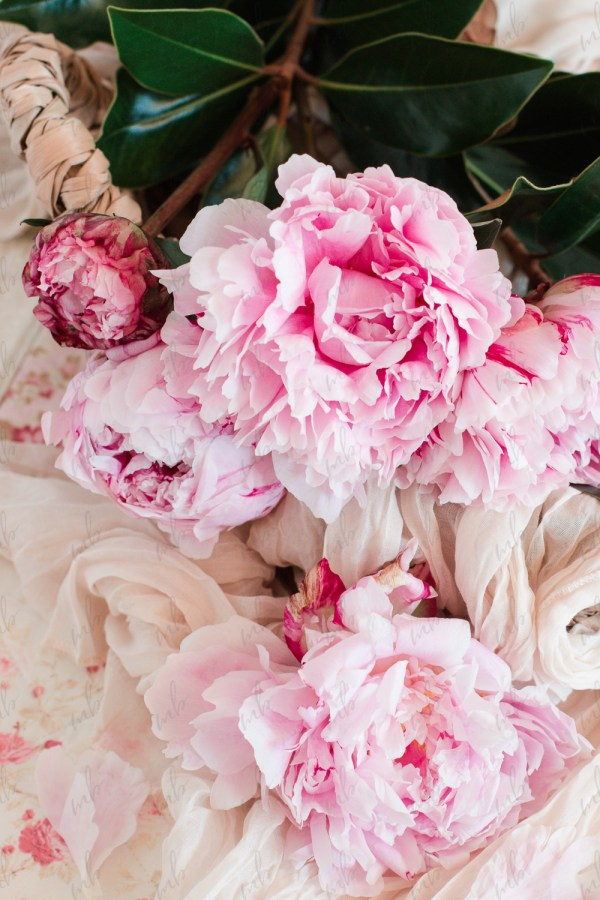 Pink Peony Collection Stock Photo