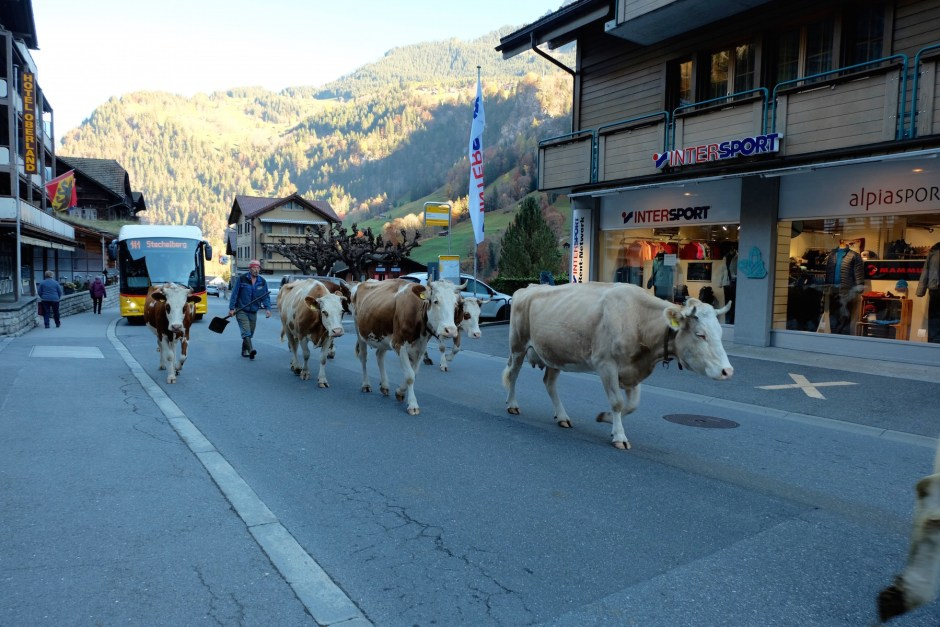 Cows strolling in Lauterbrunnen